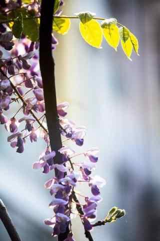 唯美好看的紫藤(teng)蘿枝條手機(ji)壁紙