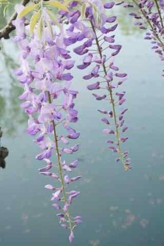 小清新池塘上的紫