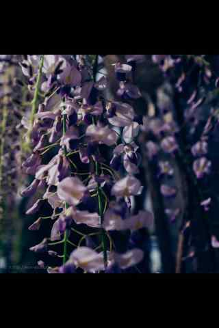 唯美紫藤(teng)蘿瀑(pu)布(bu)攝影手機(ji)壁紙