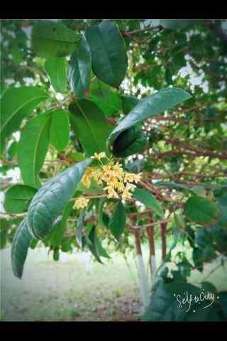 清新植物桂花手机壁纸