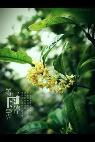 綠葉中的桂(gui)花手(shou)機壁紙