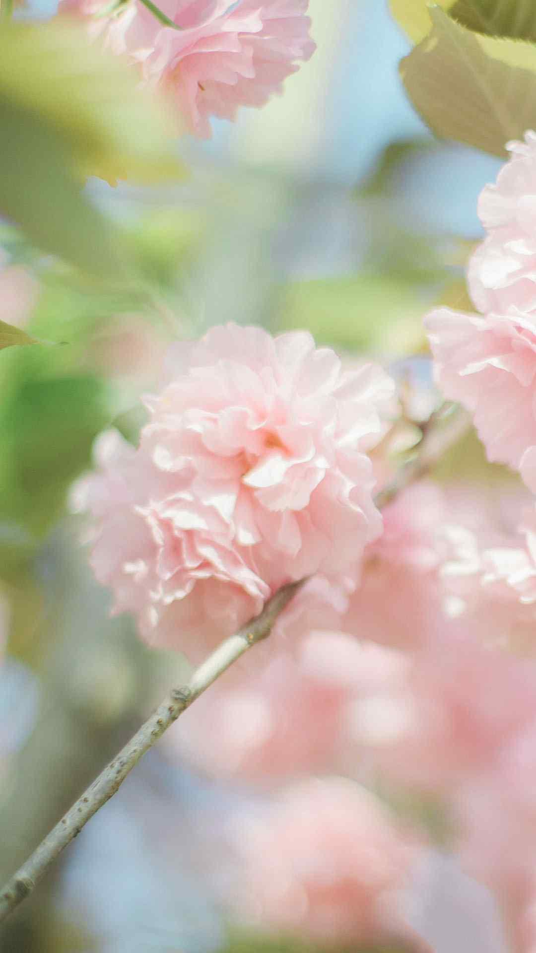 樱花唯美风景高清