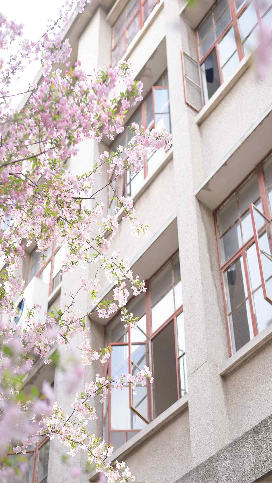 樱花唯美高清植物
