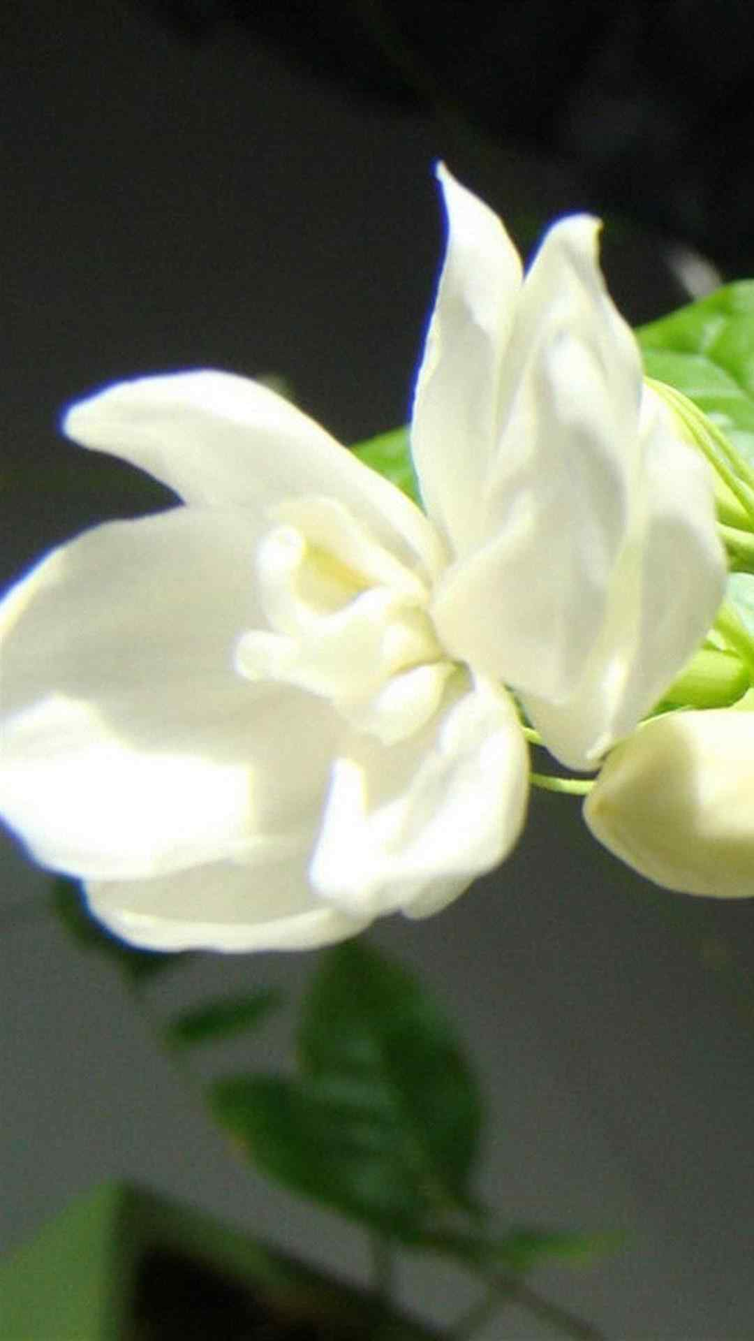 清新可爱花卉茉莉