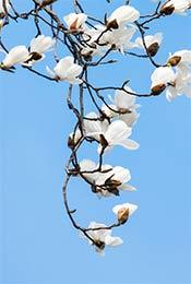 纯洁美丽白玉兰花高清植物手机壁纸