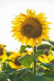 清新植物阳光向日葵高清手机壁纸