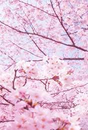 朦胧梦幻唯美樱花植物手机壁纸