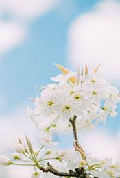 清新白色梨花高清植物手机壁纸