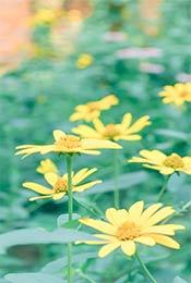 黄色植物小花高清