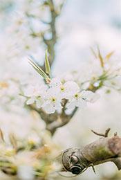 淡雅清新纯白色梨花高清植物手机壁纸
