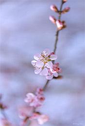 粉嫩淡雅唯美樱花手机壁纸