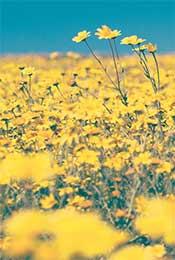 菊花花海高清植物手机壁纸