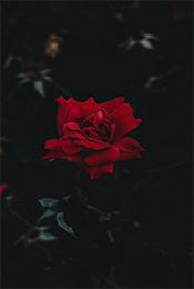 鲜艳红玫瑰唯美植物手机壁纸