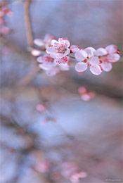 唯美樱花植物手机壁纸