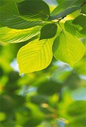清新植物树叶手机壁纸