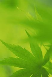绿色清新植物树叶高清手机壁纸