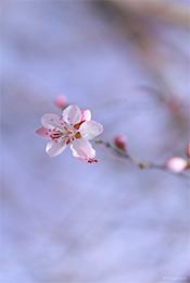高清粉色樱花手机壁纸