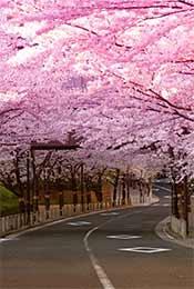 唯美浪漫樱花树植物手机壁纸
