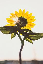 清新向阳植物向日葵高清手机壁纸