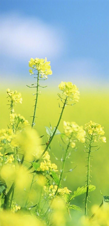 唯美油菜花高清植物手机壁纸