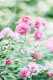 清新唯美粉嫩花朵