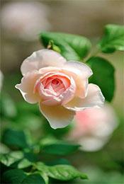 清新植物花卉摄影手机壁纸
