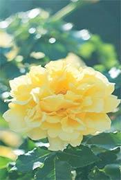 典雅大气黄色植物花卉唯美手机壁纸