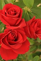 雨后玫瑰高清手机
