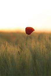 清晨荒草中的红色