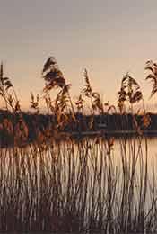 清晨湖边的芦苇荡