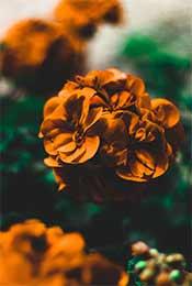 艳丽红色玫瑰超清