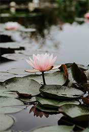 平静池塘中的荷叶
