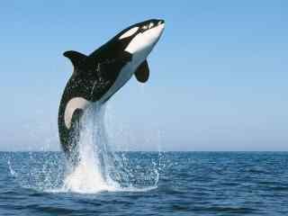 可爱鲸鱼动态屏保