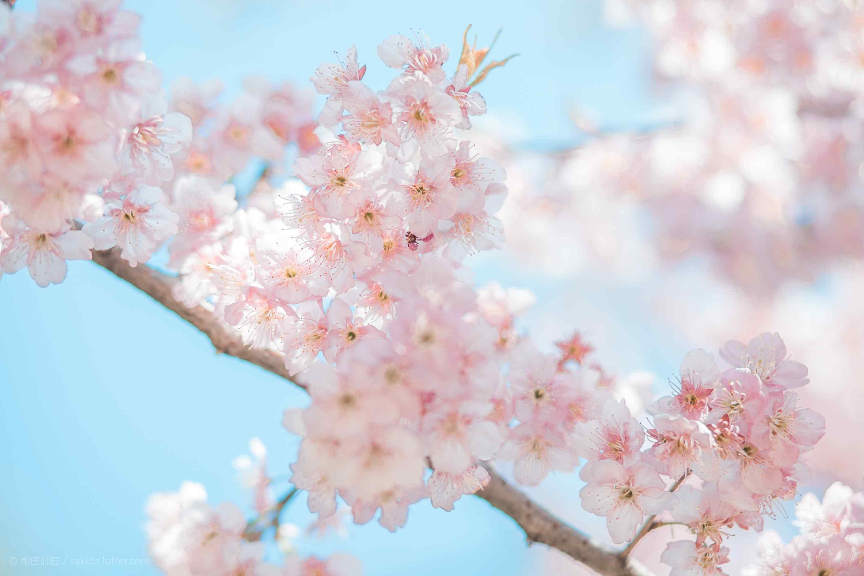 唯美粉嫩春日樱花动态屏保