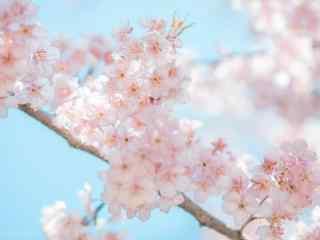 唯美粉嫩春日樱花