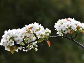 春日小清新梨花动态屏保