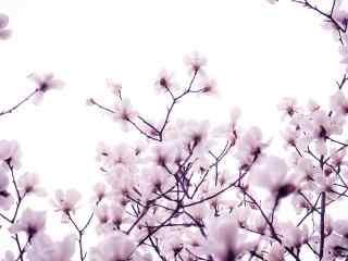 春天的玉兰花动态屏保