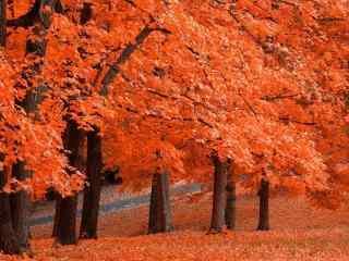 唯美秋日枫树林动