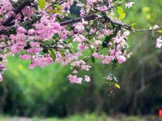 满园春色的海棠花