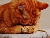 犯错的橘猫捂脸认错桌面壁纸电脑屏保