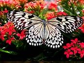 好看的黑白蝴蝶电脑动态屏保