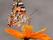 好看的燕尾蝶蝴蝶电脑桌面屏保