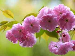 唯美盛开的粉色樱