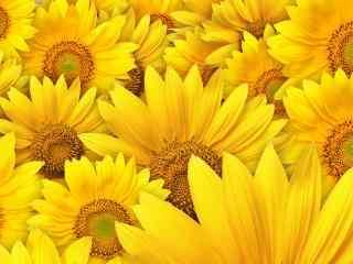 金色的向日葵桌面壁纸
