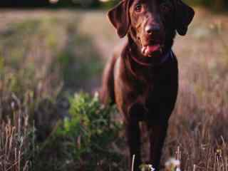 棕色狗狗高清电脑