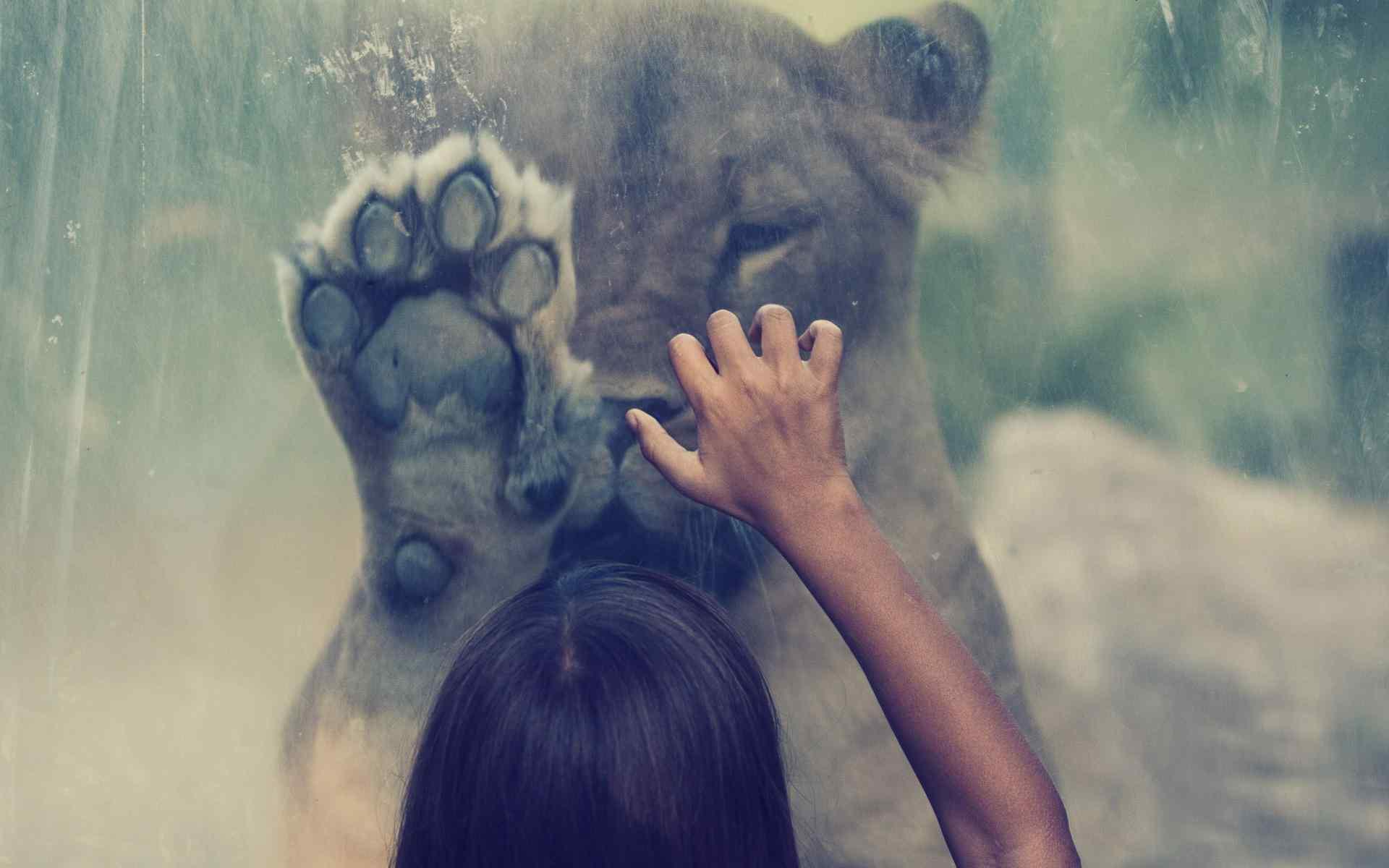 呆萌狮子壁纸
