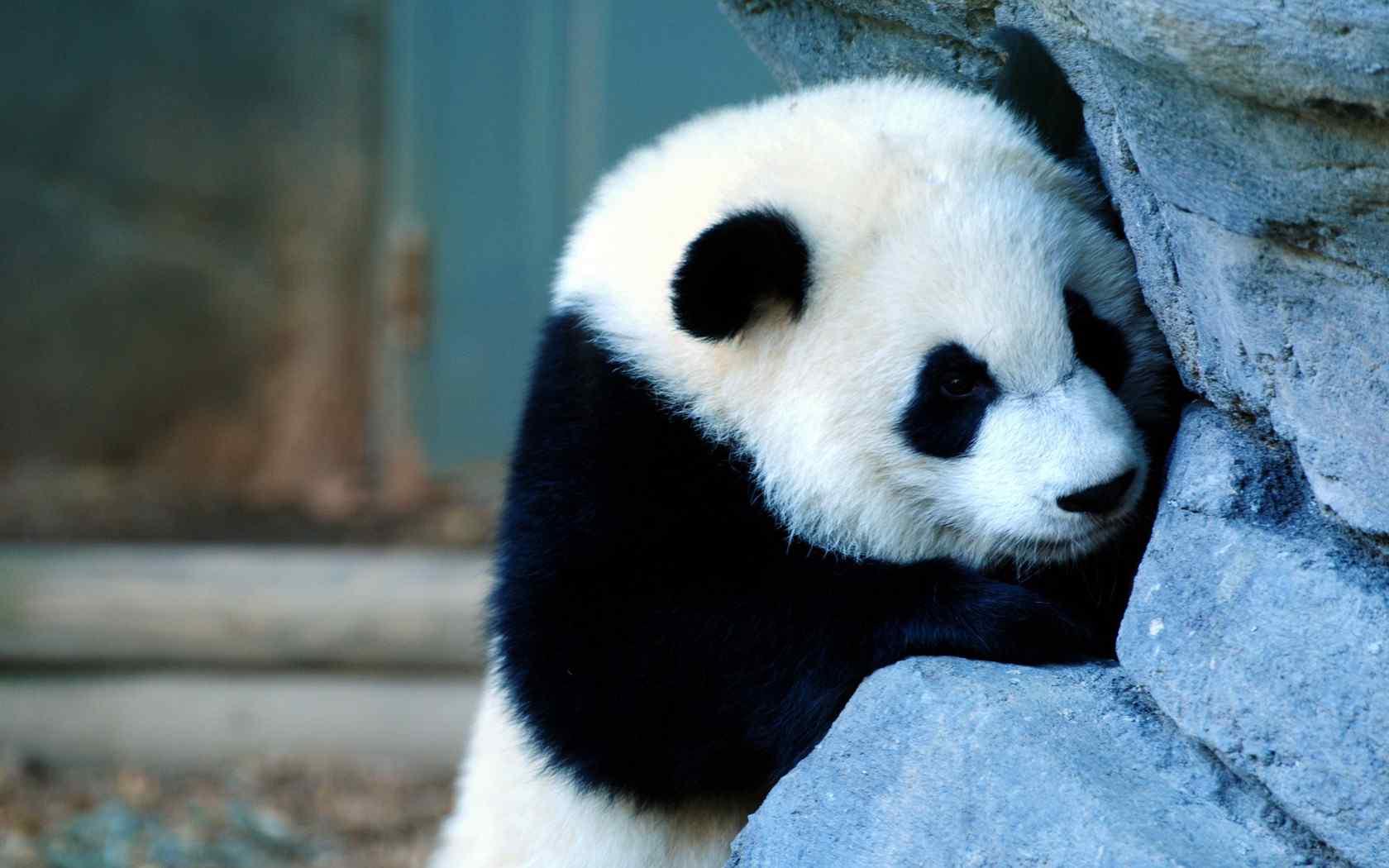 大熊猫装可怜图片