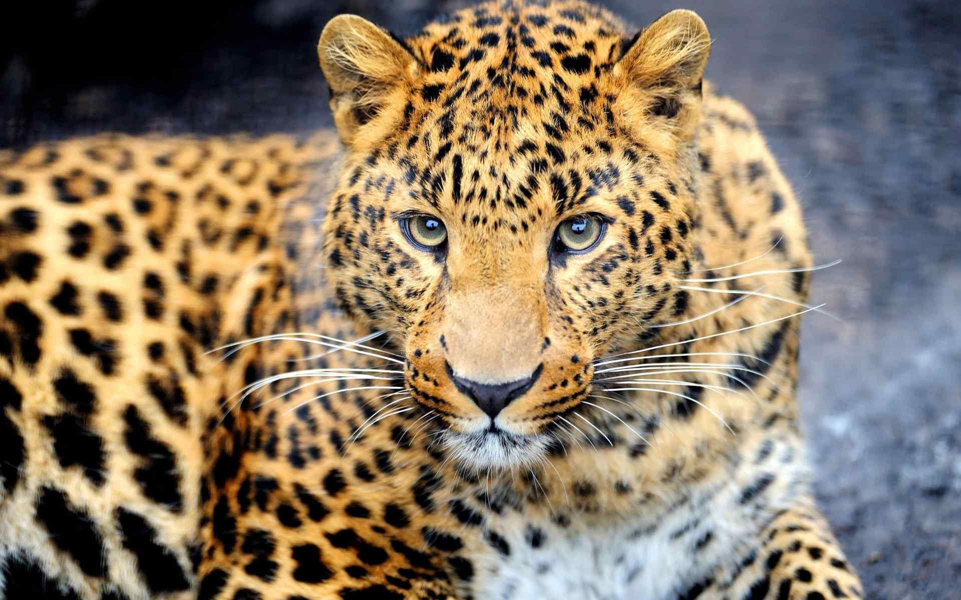 可爱斑点豹子壁纸