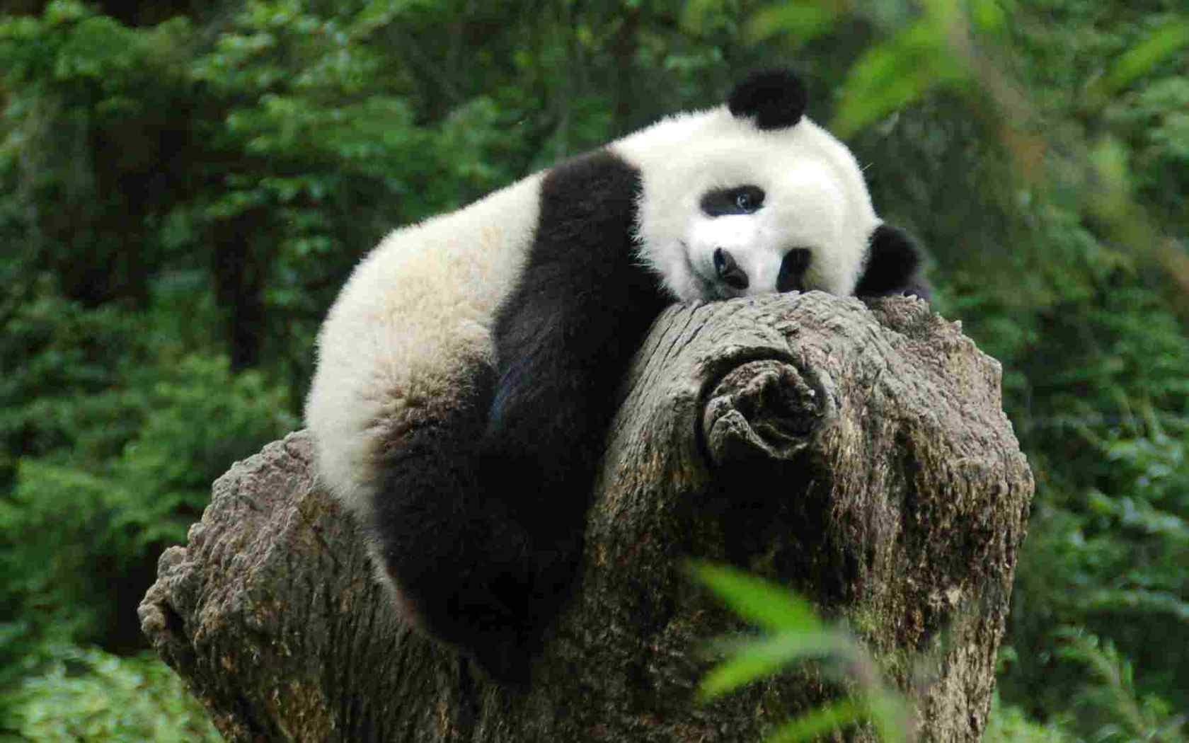 大熊猫卖萌壁纸