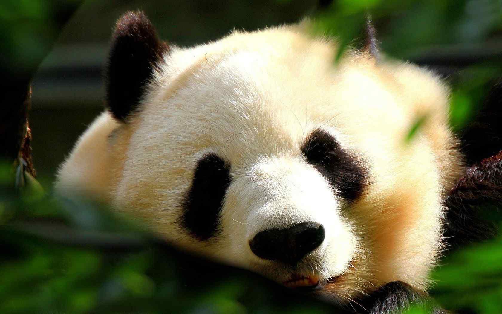 大熊猫可爱卖萌表情图片